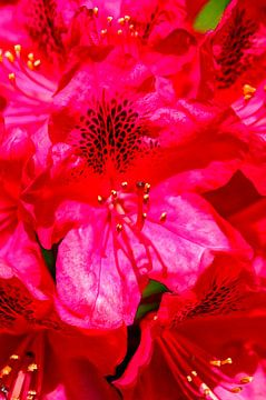 Rood rododendronbloem abstract, close-up, Duitsland, Europa, Duitsland, Europa van Torsten Krüger