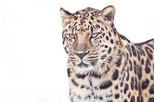 Een duidelijke foto van een luipaard uit het Verre Oosten op een witte achtergrond, een half figuur van Michael Semenov
