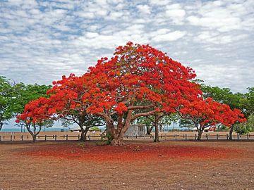 Blütenbaum, Darwin, Australien von Liefde voor Reizen