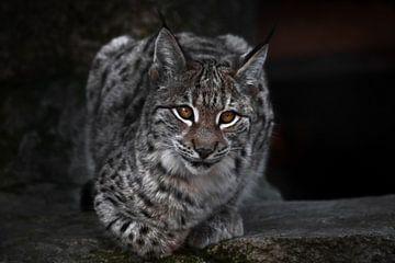Un lynx sur un plan sombre s'assoit et regarde ironiquement. Le gros chat est strict et beau. sur Michael Semenov