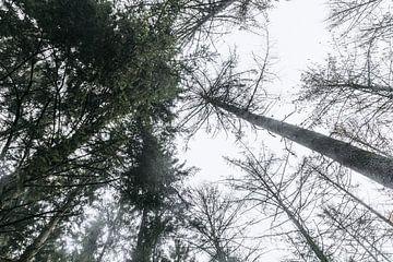 Hoge naaldbomen in de Vlaamse Ardennen van Floor Bogaerts