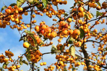 Reife Früchte von einem Zierapfelbaum am Straßenrand von Heiko Kueverling
