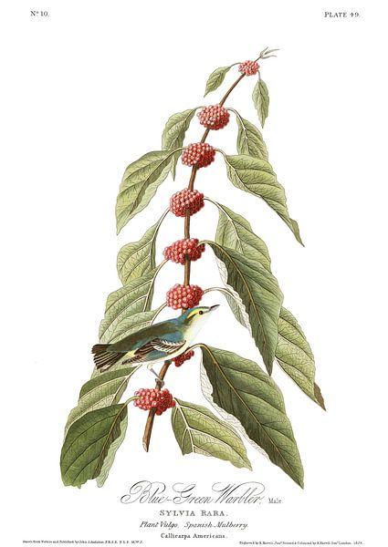 Azuurzanger van Birds of America