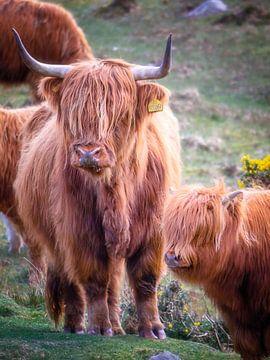 Schottische Highlander von Pascal Raymond Dorland