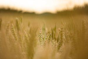 Wuivend korenveld van Tonny Eenkhoorn- Klijnstra