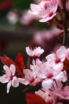 Baumblüte von Thomas Jäger