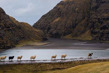 Schafe in der Bucht von Saksun von Denis Feiner