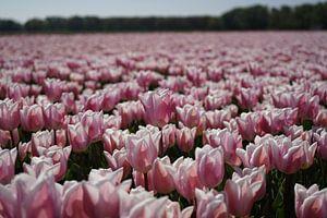 Roze tulpen in de bollenstreek
