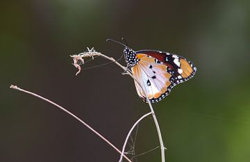Kleine Monarchvlinder van Eline Snijder