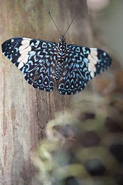 Hamadryas arinome - Vlinder van Lonneke Prins