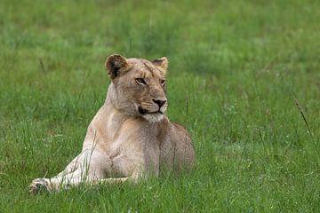 Junge Löwin von Martin van der Kruijk