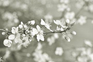 Blüte von Shutterbalance