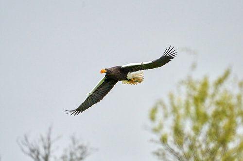 Steller zeearend vliegt boven de bomen, tegen een blauwe lucht. De roofvogel heeft de vleugels wijd