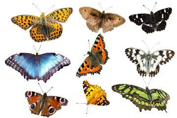 verschiedene Schmetterlingsarten auf weißen Hintergrund von Animaflora PicsStock