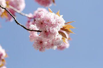 Japanse bloeiende kers I van Anja Bagunk