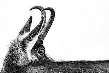 Gems blickt zurück von Sam Mannaerts Natuurfotografie
