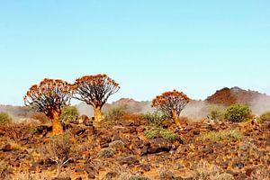 Kokerbomen nevel landschap, Namibie, Afrika