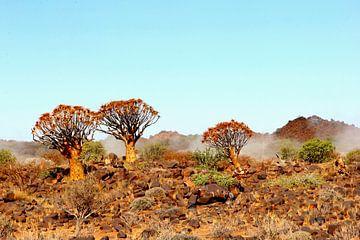 Kokerbomen nevel landschap, Namibie, Afrika van