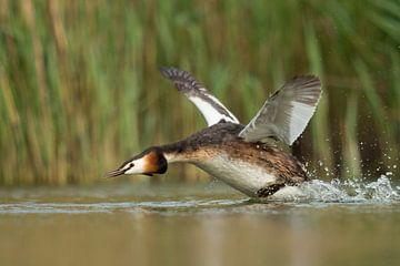 Haubentaucher ( Podiceps cristatus ) startet im Wasser, läuft an, fliegt auf,  wildlife, Europa. von wunderbare Erde