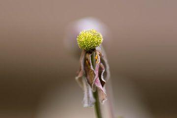 tote Anemone von Tania Perneel