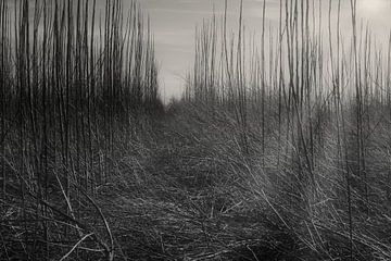 Sonnenstrahlen zwischen jungen Bäumen von Freya Clauwaert