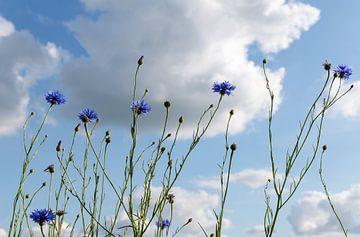 Korenbloemen in de zon tegen een blauwe lucht met wolken, zomerse natuur op de achtergrond van een w van Maren Winter