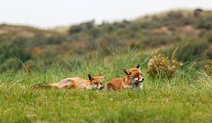 2 foxes von Eelke Cooiman