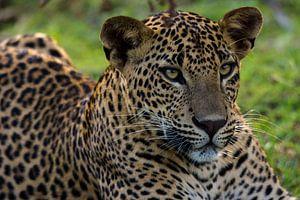 Luipaard van