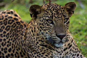 Leopard von Adri Vollenhouw