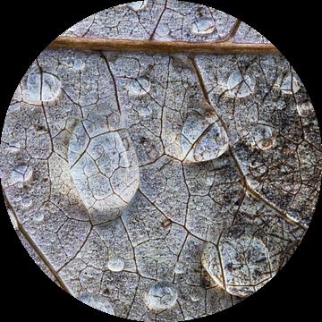 Regendruppels op bladnerven. van Wil Leurs
