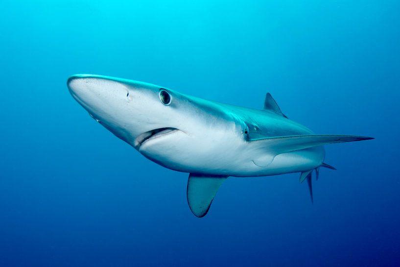 Blauwe haai in Zuid-Afrikaanse wateren van Filip Staes