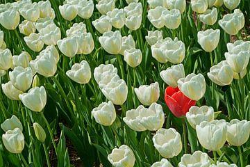 Bed witte tulpen met één rode uitzondering van Gert van Santen