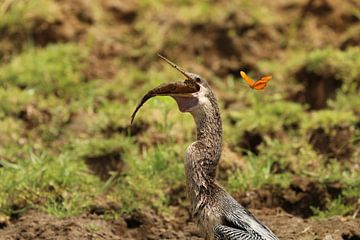 Aningha eet vis Costa Rica Cano Negro von Ralph van Leuveren