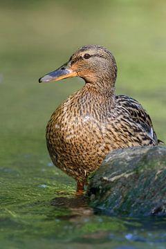 Mallard / Wild Duck ( Anas platyrhynchos ) van wunderbare Erde