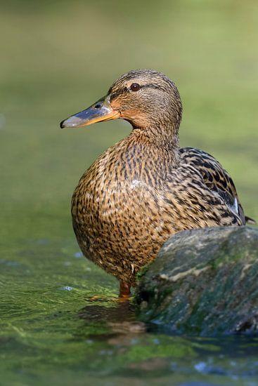 Mallard / Wild Duck ( Anas platyrhynchos )
