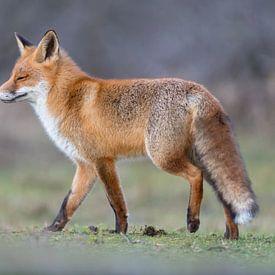Red fox enjoying the sun! van Robert Kok