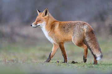 Red fox enjoying the sun!