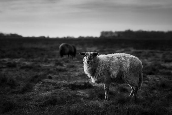 Two sheep in the heather