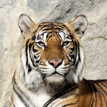 Tiger_001_by_JAMFoto van Angelika Möthrath