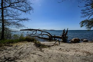 Baumstamm am Ufer in der Goor, Insel Vilm, Lauterbach auf Rügen