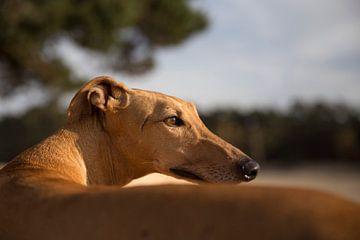 Hond in de zon van Janine Bekker Photography