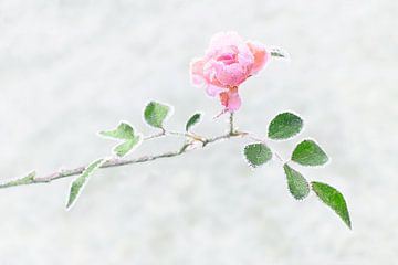 Rose gelée sur Christa Thieme-Krus