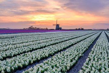 Noord Hollands landschap met Hyacinten van eric van der eijk