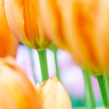 Oranje tulpen van Aspectus | Design en Realisatie