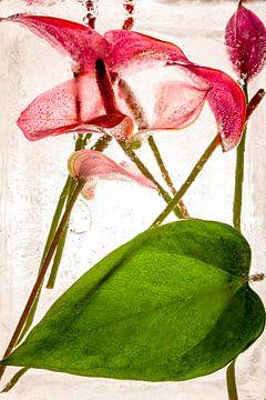 Flamingoblume in Eis 3 von Marc Heiligenstein