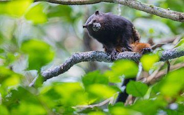 Nieuwsgierig aapje van Lennart Verheuvel
