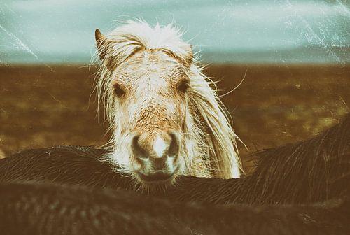 Islandpferde von