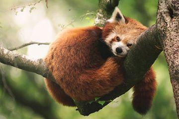 Ruhender roter Panda in einem Baum von Jesper Stegers