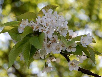 Spring in Holland sur Carla Mesken-Dijkhoff