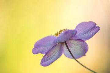 Anemonenrosa Schönheit von John van de Gazelle